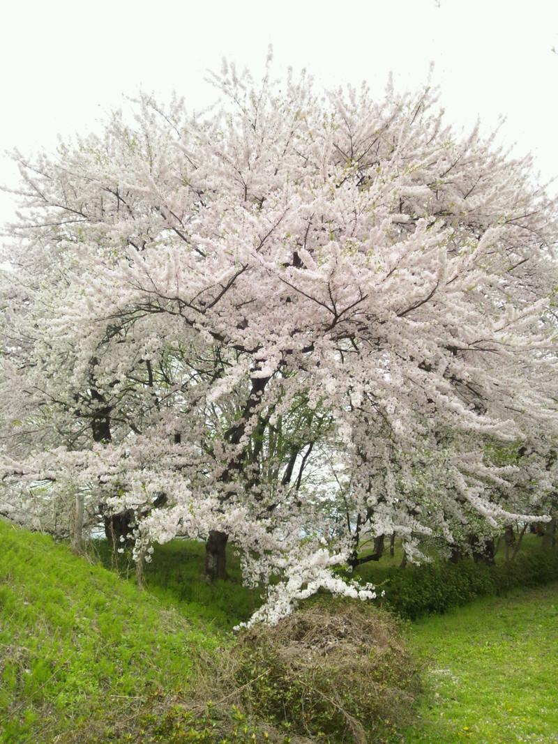 霞城公園に花見