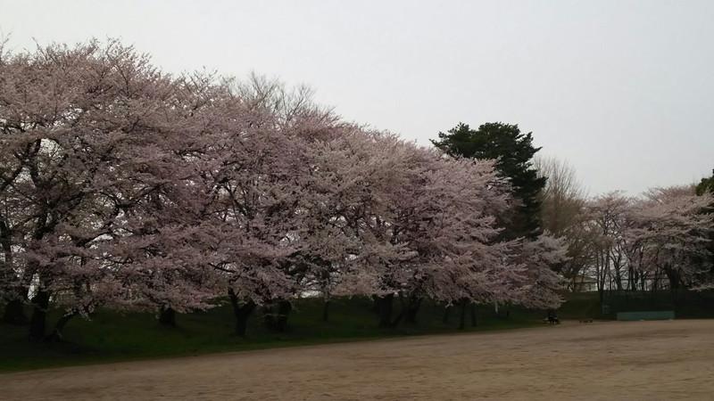 霞城公園に花見に行ってきました